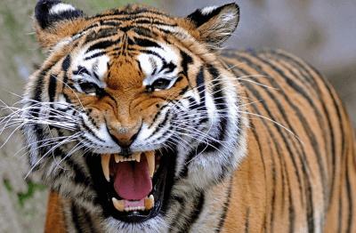 Le tigre Econocom montre les crocs !