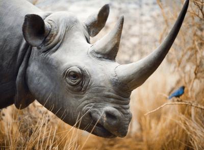Réseau sophistiqué pour protéger les rhinocéros