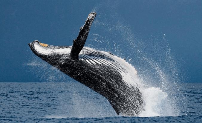 Deep learning et machine learning pour suivre l'état de santé des baleines